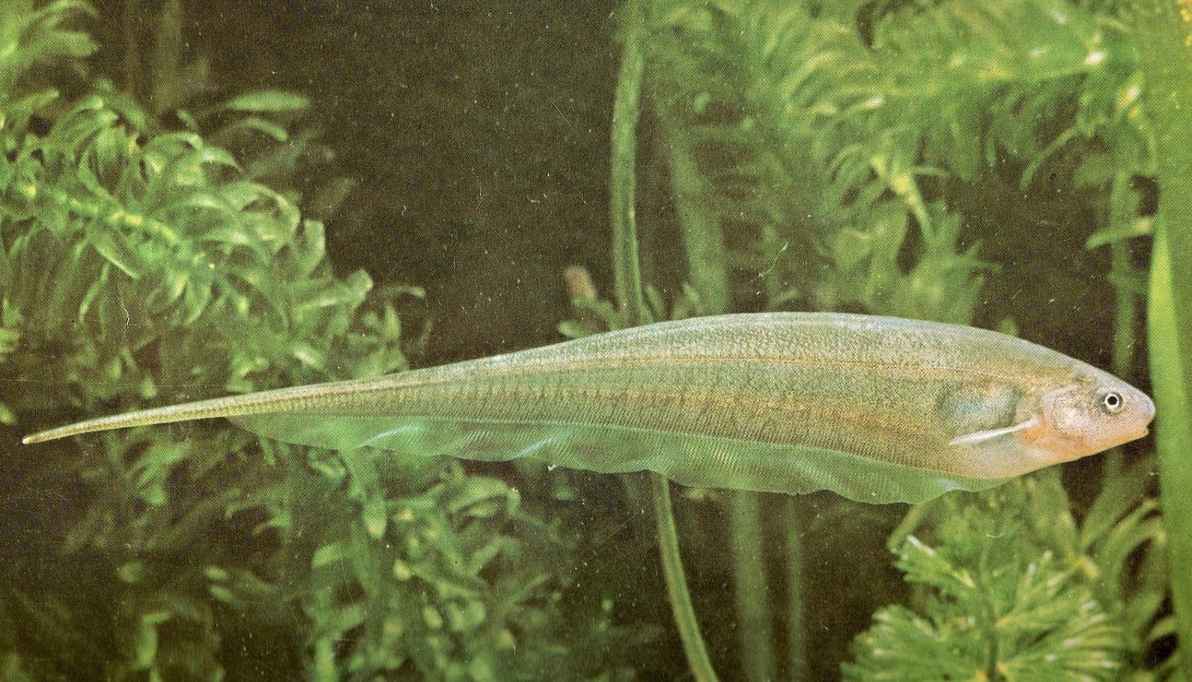 ماهی Eigemania viricens